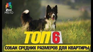 Топ 6 собак средних размеров для квартиры | Top 6 medium sized dogs for the flat