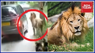 Lions Attack Tourist Car In Bannerghatta National Park, Bangalore