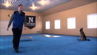 Schatzi (german Shepherd) Boot Camp Dog Training Video