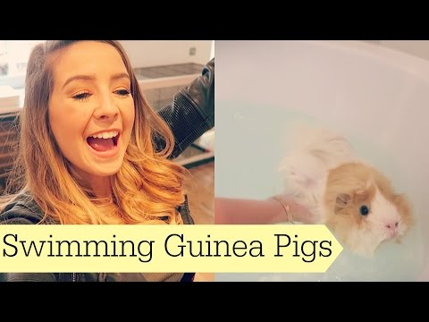 Swimming Guinea Pigs