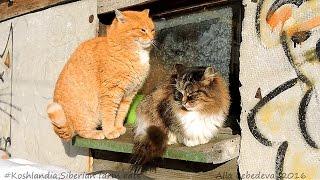 The cat sits on the window,  СИДИТ КОШКА НА ОКОШКЕ, кот да петух