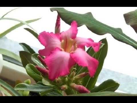 Цветение адениума из семян