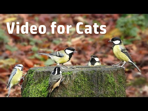Video for Cats to Watch - Little Bird Frenzy
