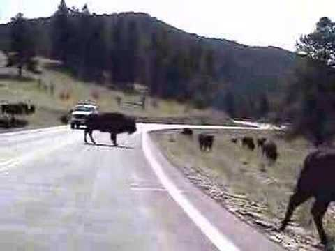 Buffalo - A South Dakota traffic jam