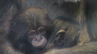 Download Video 東山チンパンジー 双子の赤ちゃん 25  Chimpanzee twin baby MP3 3GP MP4
