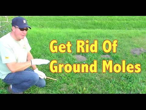 How To Get Rid Of Ground Moles Youtube