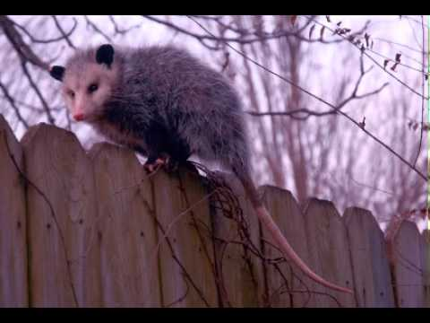 Possum Facts - Facts About Possums
