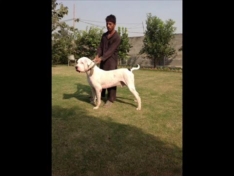 Tulla Bully Kutta female pup for sale