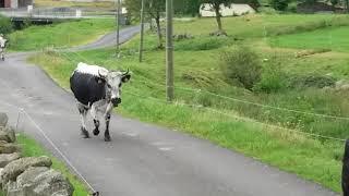 Vaches Vosgiennes