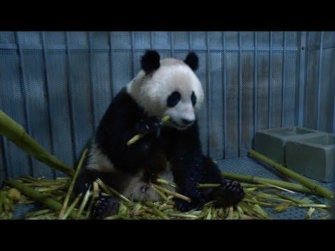 В Китае выпустят на волю гигантскую панду