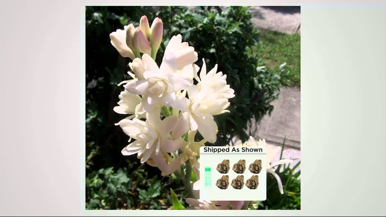 Robertas 6 Pc Snow White Tuberose Collection With Fertilizer With
