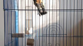 My Birds chardonneret