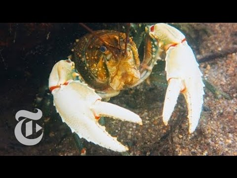 Crayfish In Trouble | ScienceTake | The New York Times
