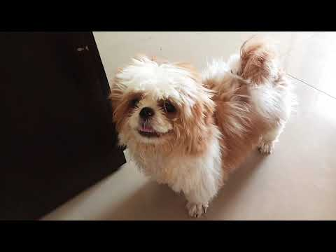 shih tzu puppies barking | angry shih tzu | Dog Barking