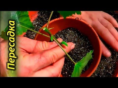 Как правильно посадить или пересадить Китайскую розу.  Правила пересадки Гибискуса.