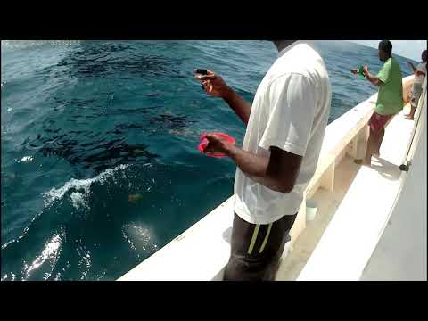 Hand Line Fishing For Rainbow Runners With Live Bait.