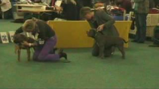 World Dog Show  Bratislava (oct 2009) - Staffordshire Bull Terrier Breed