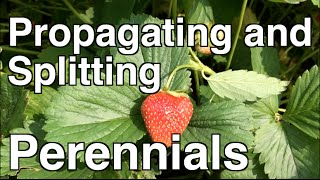 Propagating and Splitting Perennial Strawberries, Mint and Iris
