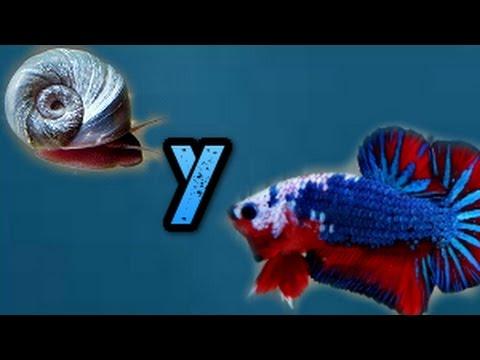 Compatibilidad del pez betta y el caraco planorbis-Rincon animal