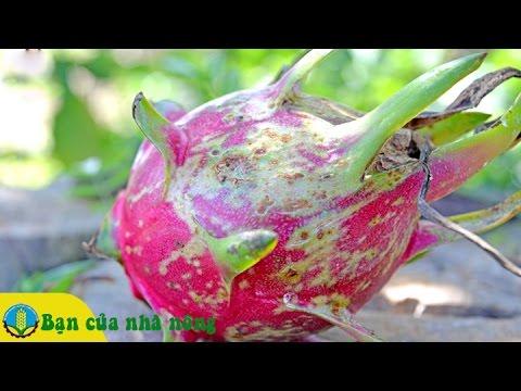 Biện pháp phòng trừ bệnh Đốm nâu hiêu quả trên cây Thanh Long
