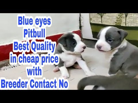 Blue Eyes Pitbull Best Quality In Cheap Price With Breeder Contact No