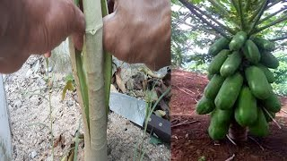 The method of interrupting papaya production produces low papaya and many fruits