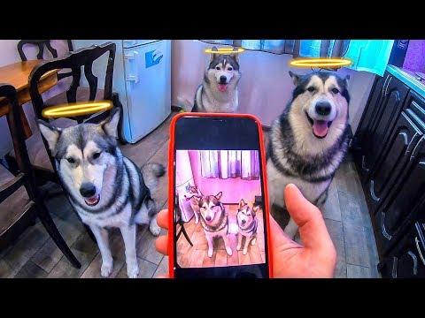 ОСТОРОЖНО МИЛО! Самые умные собаки в мире : дрессировка хаски