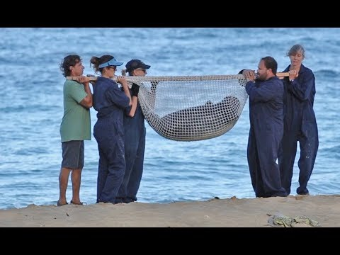 NOAA Officials Relocate Hawaiian Monk Seal Pup Kaimana Off Kaimana Beach