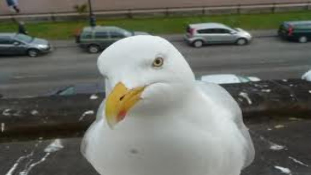 Seagull Steals Food Youtube