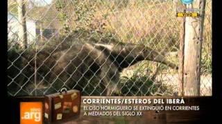 Vivo en Argentina - Viajera: Oso hormiguero en los Esteros - 04-10-11