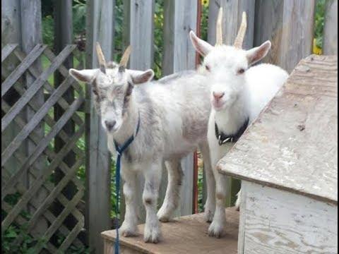Goat takes stroll through Massachusetts hotel