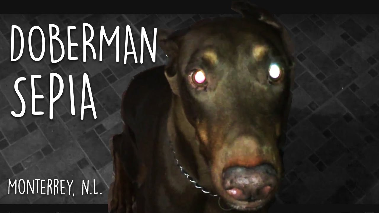 Doberman Sepia Monterrey N L Youtube