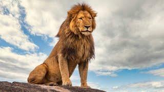 Лев - Lion (Энциклопедия животных)