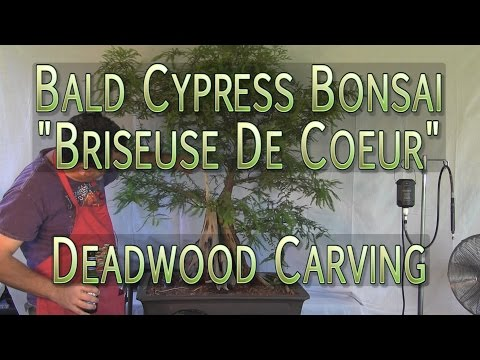 Extensive Deadwood Carving for Bald Cypress Bonsai