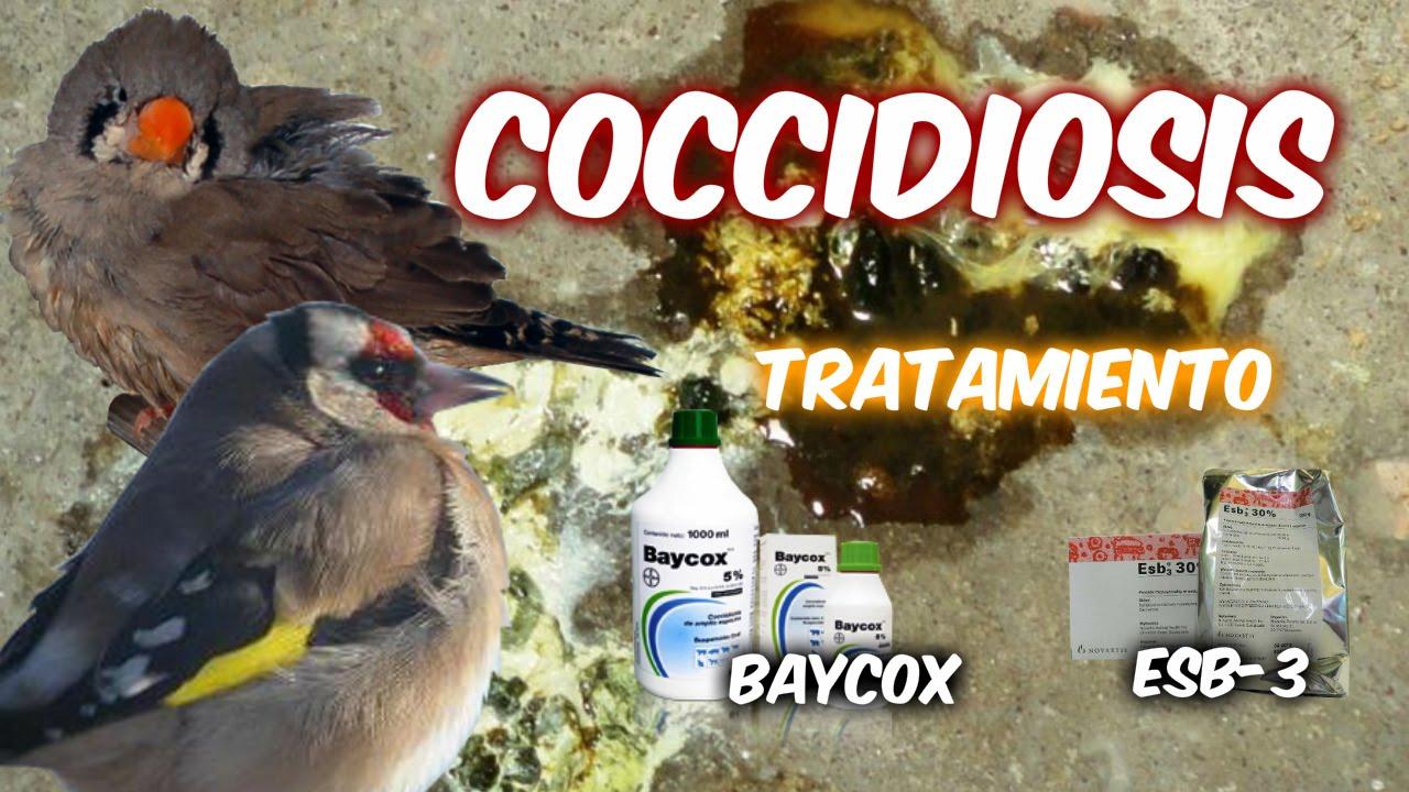 sintomas de coccidiosis en pollos