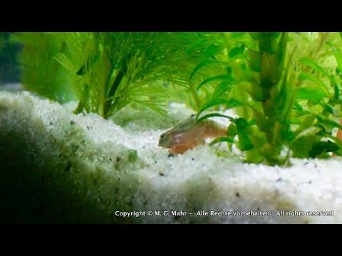 Triops Einzug Ins Aquarium