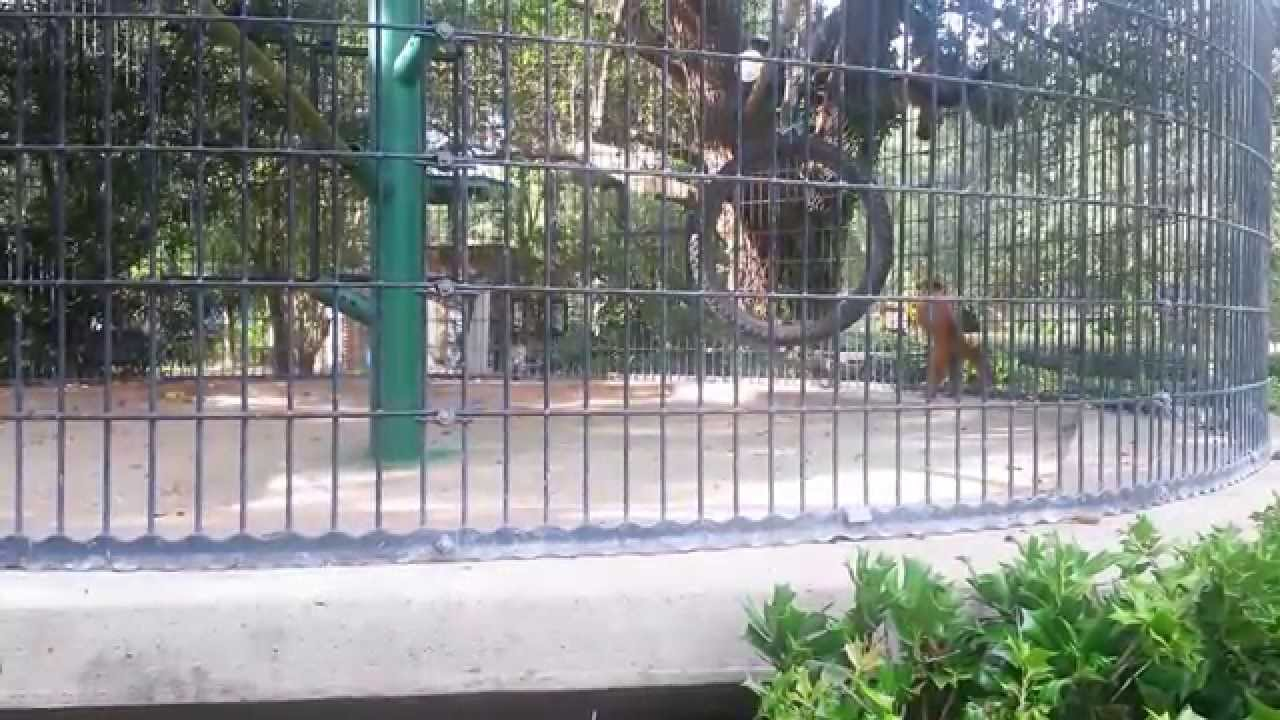 Capuchins At Louisiana Purchase Gardens And Zoo Youtube