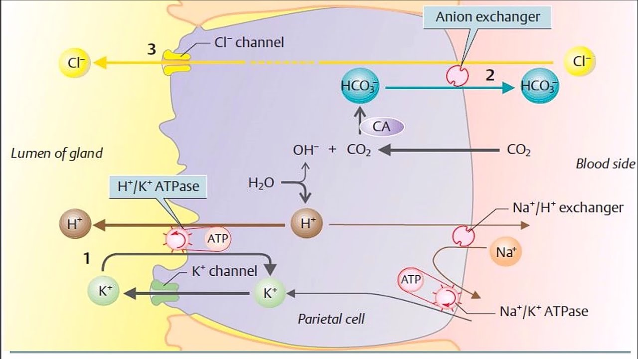 how to make a cell diagram 3 wire well pump wiring mechanism of hcl secretion (hydrochloric acid in stomach) - youtube