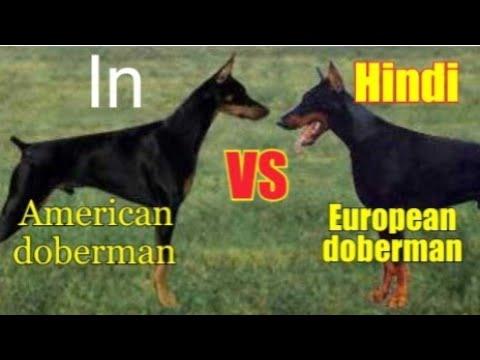 American doberman vs European doberman.