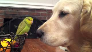 """saying Goodbye"" - Parrotlet Birds + Golden Retriever Dog"
