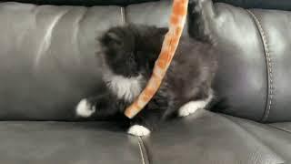 RagaMuffin kitten  black tuxedo