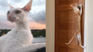 CUTE CORNISH REX CAT MOMENTS