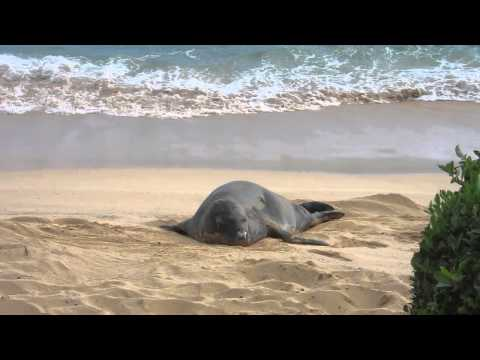 Hawaiian Monk Seal at Sheraton Kauai Resort beach - Feb. 2 2014