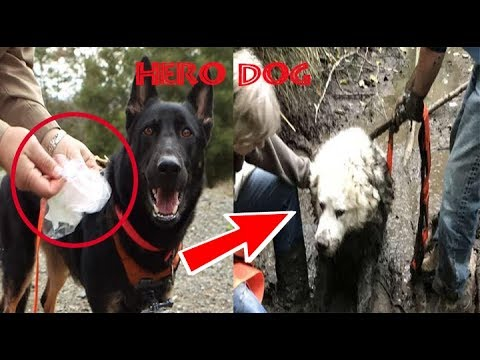 rescue-dog-becomes-a-hero-after-locating-another-missing-pup-trapped-deep-in-mud-for-days