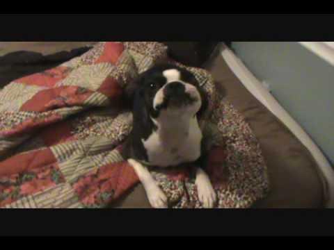 dramatic boston terrier singing