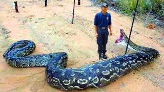 giant snake eats man world s largest snakes massive anaconda attacks real or not