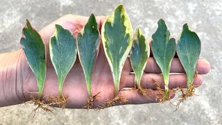 Como Fazer Mudas de Plantas Através das Folhas