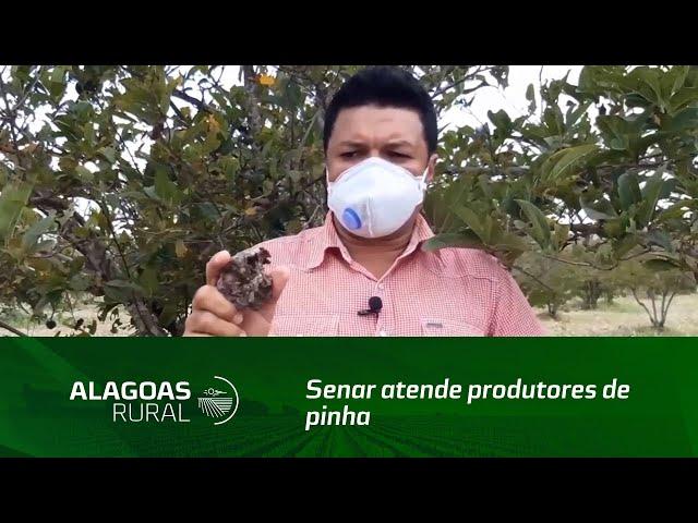 Senar atende produtores de pinha do município de Estrela de Alagoas