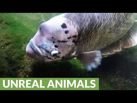 Bizarre Tropical Fish Has Amazing Survival Adaptation
