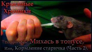 Крысы   Михась в тонусе, или кормление старичка ч.2 (Fancy Rats)